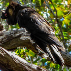 Baudin's (Long-billed) Black-Cockatoo (male and female)