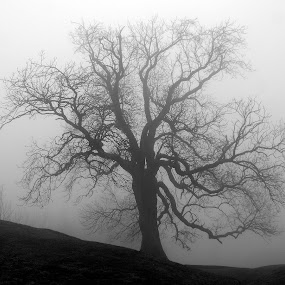 In Mist by Michael Topley - Landscapes Weather ( england, uk, tree, fog, leicestershire, silhoutte, morning, mist )