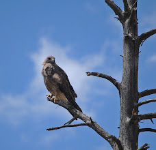 Photo: Red Tail