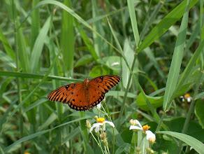Photo: Gulf Fritilary Lake Toho, Florida Oct 03 HP C850