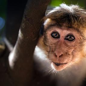 young monkey by BO LED - Animals Other Mammals ( monkey, closeup, nature, animal, portrait, wildlife,  )