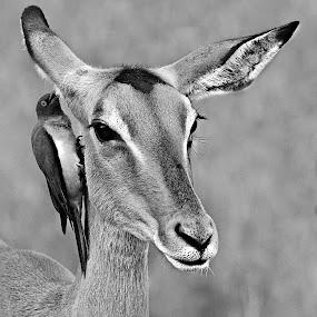 Whisper by Pieter J de Villiers - Black & White Animals ( mammals, animals, kruger national park, impals, ox-pecker, south africa, black & white, birds,  )