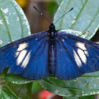 Lamplight Actinote Butterfly