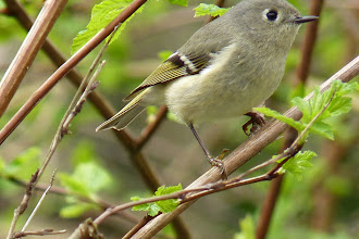 Photo: Ruby-crowned Kinglet