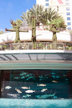 Photo: There are sharks in the pool at the Mirage Hotel and Casino, Las Vegas!!