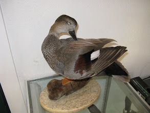 Photo: Preening Gadwall drake on driftwood/ blue-pine plaque