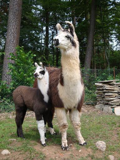 Une famille de lamas