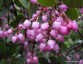 Photo: The manzanita is in bloom.