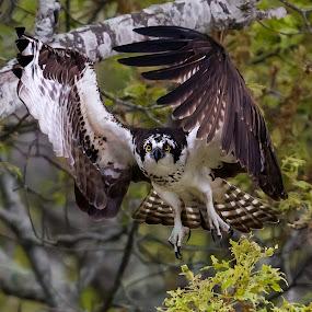 Osprey 3233 by Carl Albro - Animals Birds ( flying, osprey, hawks and eagles, wildlife )
