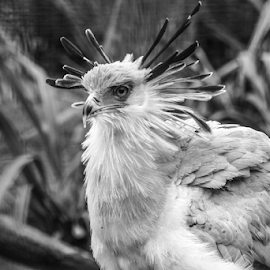 Secretary by Garry Chisholm - Black & White Animals ( secretary, nature, bird, garry chisholm )