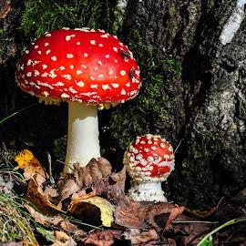Dangerous beauty by Irena Gedgaudiene - Nature Up Close Mushrooms & Fungi ( leaves, amanita muscaria, autumn, mušrooms )