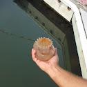 Cannon Ball Jellyfish