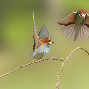 Bee-eaters.. by Albergamo Paolo - Animals Birds