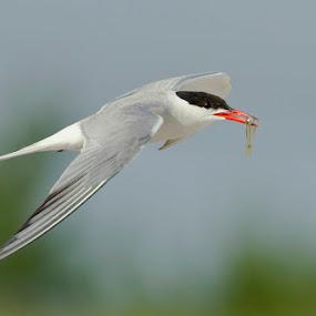 Forster's Tern by Herb Houghton - Animals Birds ( wild, forster's tern, tern, spearing, herbhoughton.com, shorebird, non captive )