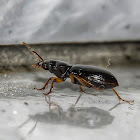 Ground Beetle / Besouro-da-Terra