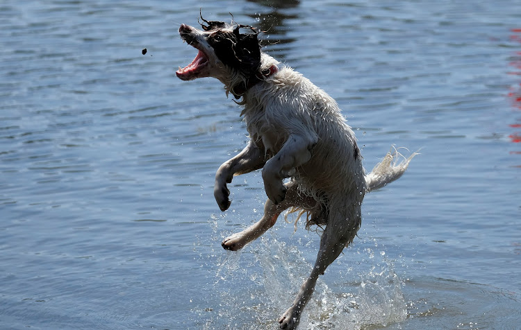 A dog plays during a warm spell in Bala Lake, Wales.
