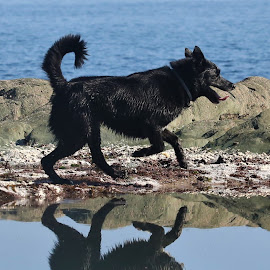 Black & Blue by Gareth Evans - Animals - Dogs Playing ( reflection, blue, collie, water, dog )