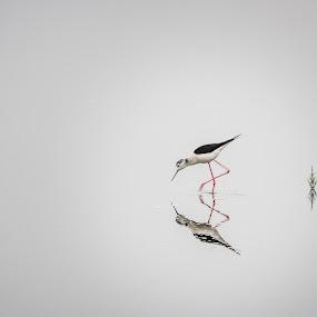 Black-winged Stilt by Paulo Veiga - Animals Birds ( patas vermelhas, long legs, common stilt, pernalonga, rebel t2i, reflections on water.paulo veiga, 2013, minimalism, pernilongo, pixoto, himantopus himantopus, bird, pied stilt, red legs, salt water.water, black-winged stilt, long-legged, recurvirostridae, ave limícola, canon eos 550d, minima, ave, reflection.water, ef-s 18-200mm,  )