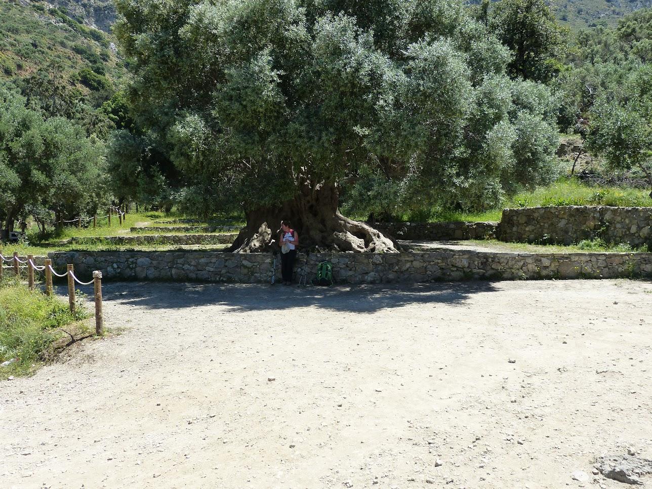 De takken van deze boom zijn gebruikt voor de lauwerkrans van de winnares op de marathon in Athene van 2004