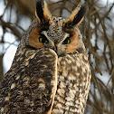 Long Eared Owl, Buho chico (Spanish) or Hibou moyen-duc (French)