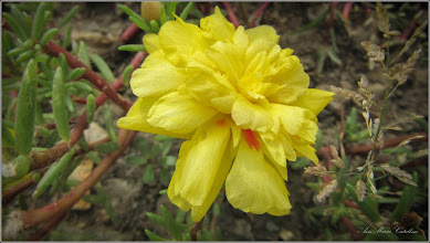 Photo: Floarea de piatra (Portulaca grandiflora) -  din Turda, de pe Str. Mihai Viteazul - 2018.08.02