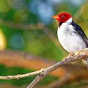 Cavalaria (Yellow-billed Cardinal)