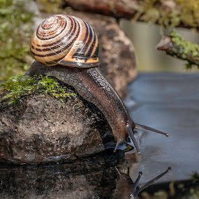 is that me by Eddie Leach - Animals Other ( macro, nature, macro photography, snail, garden,  )