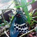 The blue Mormon- Underside of  the wing