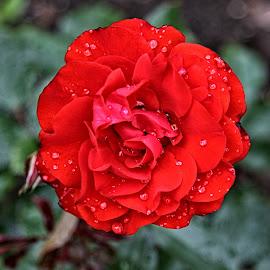 BA rose 28 by Michael Moore - Flowers Single Flower (  )