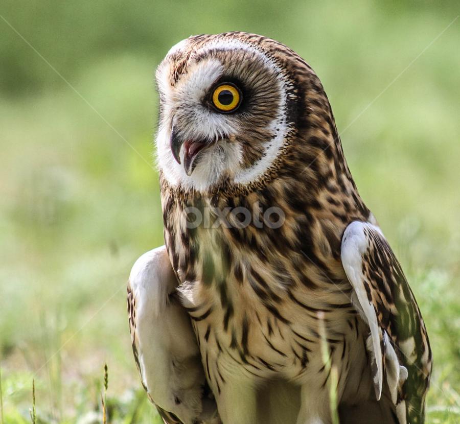 Startled by Garry Chisholm - Animals Birds ( bird, nature, owl, wildlife, prey, garry )