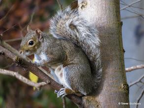 Photo: Grey Squirrel, Danestone