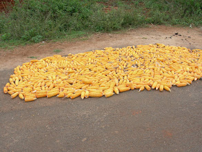 Photo: maize.cultivated.