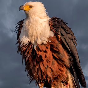 Stormy Fish Eagle by Adriaan Vlok - Animals Birds ( fish eagle, eagle, eagle clouds, stormy fish eagle,  )