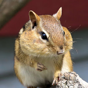 Sunday's Best 23 by Terry Saxby - Animals Other Mammals ( canada, terry, chipmunk, goderich, ontario, saxby, nancy,  )
