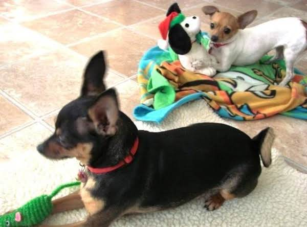 Our Two Rescued Chihuahuas.   Cleo - Black Angie - White
