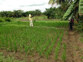 Photo: Jean Apedoh, left, standing in Kokou Joseph Adokanou's demonstration plots. Photo by Devon Jenkins, Togo, March, 2014.