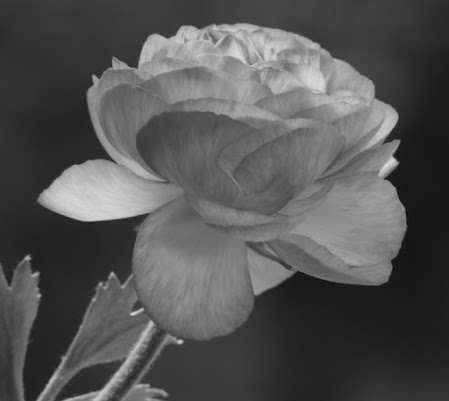 Rosa..rosae di mogavero