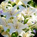 LiliumBG: Lily Flowers APK