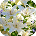 LiliumBG: Lily Flowers icon