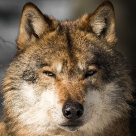 Wolf by Andrej Kozelj - Animals Other ( predator, wild, nature, wolf, beautiful, wildlife, wolves, natural, mammal )