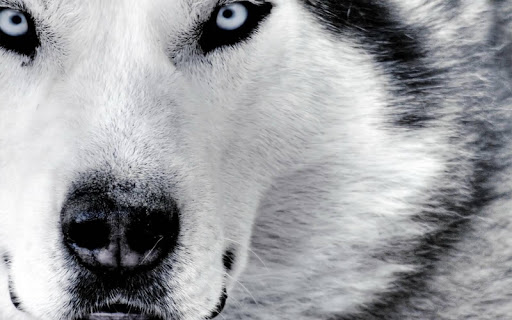 White Wolf Pack 2 Wallpaper
