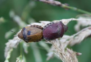 Photo: Eurygaster testudinaria  Heteroptera  > Scutelleridae
