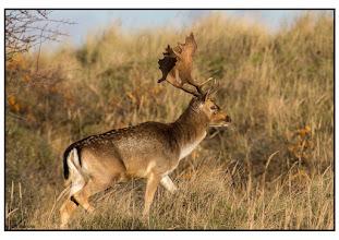 Photo: Fauna Hert foto: Bert Morsink.