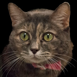 by Vicki Switala Riley - Animals - Cats Portraits ( eye, black background, humane society, cat, indoors, female, rescue, pink collar, interior,  )