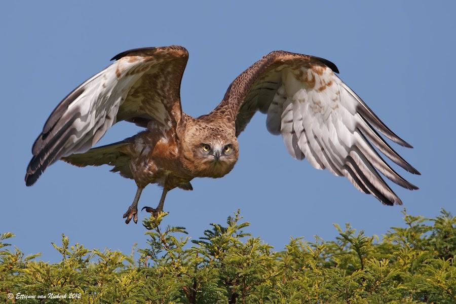 Snake Eagle by Ettienne Van Niekerk - Animals Birds