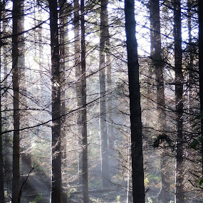 Early Morning in the Forest by Cliff Oakley - Landscapes Forests ( nature, woodland.wood, wildlife, trees, forest, mist )