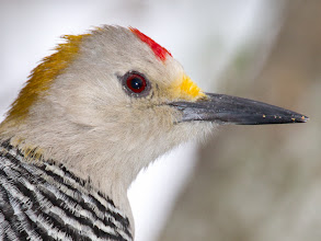 Photo: Golgen-fronted Woodpecker