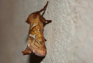 Photo: Triodia sylvina    Lepidoptera > Hepialidae