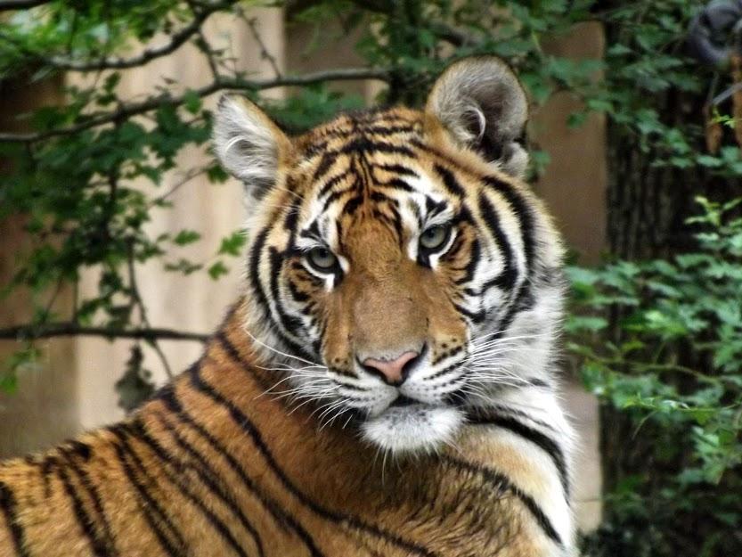 Jeune tigresse hybride Malaisie x Bengale, Mervent - Tous droits réservés