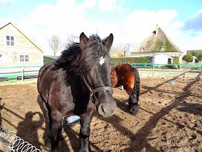 Photo: Belgische trekpaarden in Berkhout